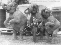 Elefantes amaestrados