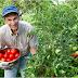 7 REGULI pentru o recoltă bogată de roşii