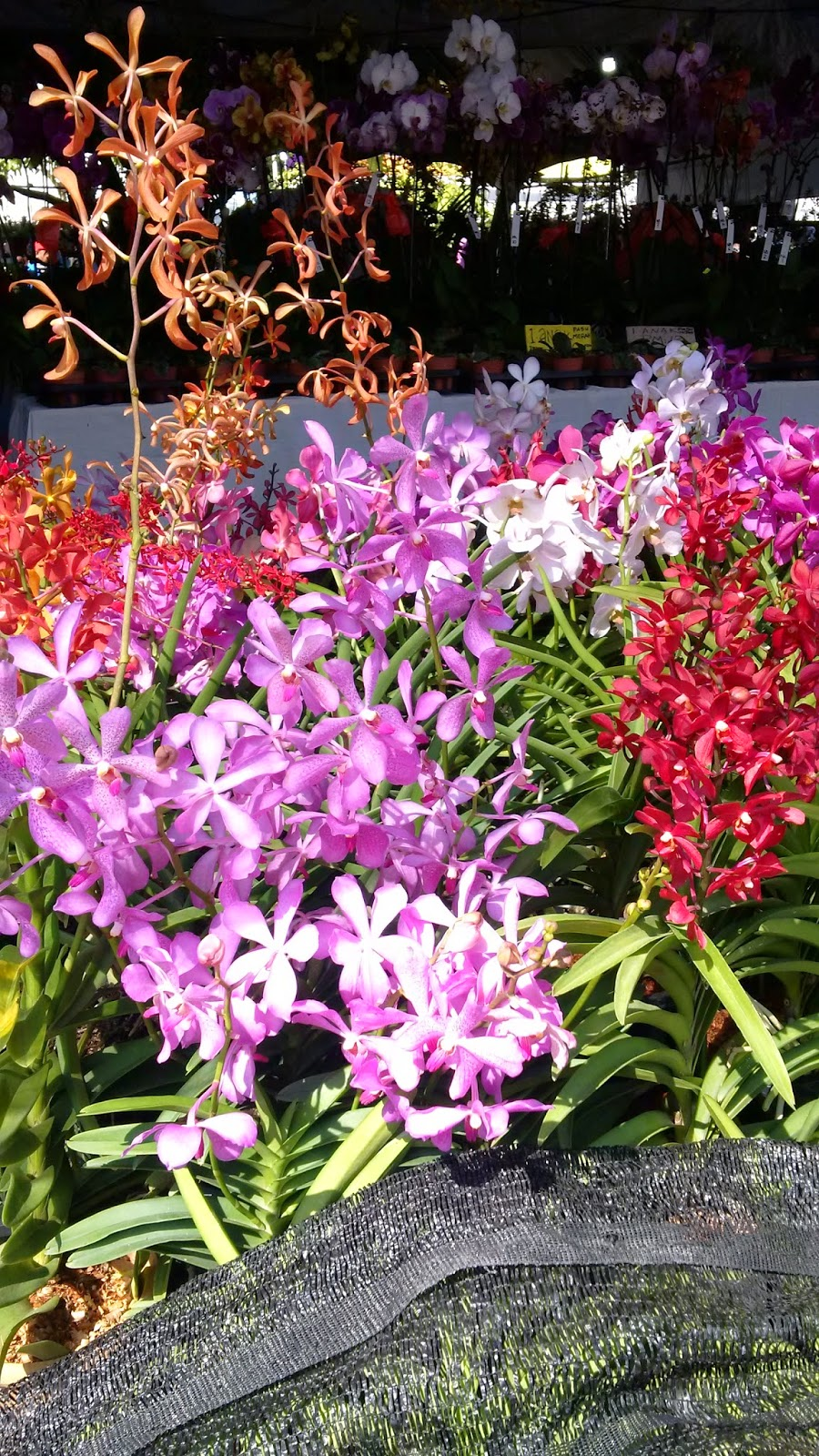 orchids, malaysia orchids, malaysia flower bazaar, flower exposition, flowers malaysia, colorful flowers, gardening
