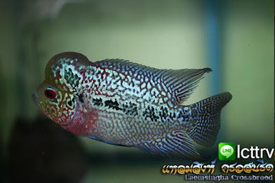 ปลามุกสวยๆ ปลาหมอสี มุกแดง
