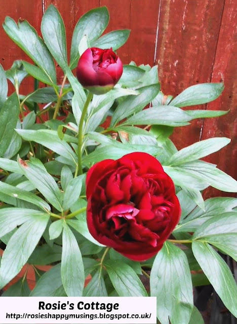 Spring is almost here - Soon the peonies will burst into bloom.