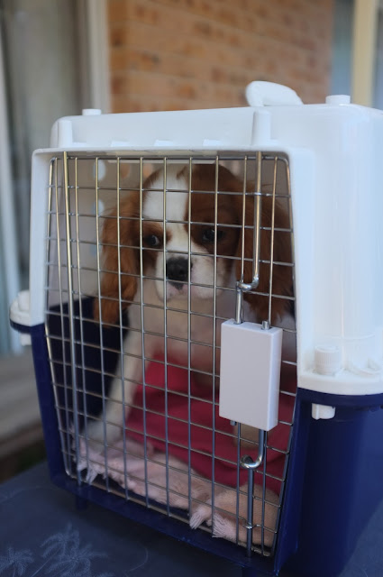 Ava brown and white puppy looks out of crate door
