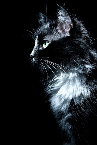 Photographie de chat noir