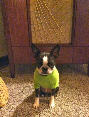 Sinead the Boston terrier sitting down