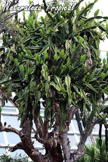 El Aguacate Cimarrón o Flor de Copa, Dendrocereus nudiflorus