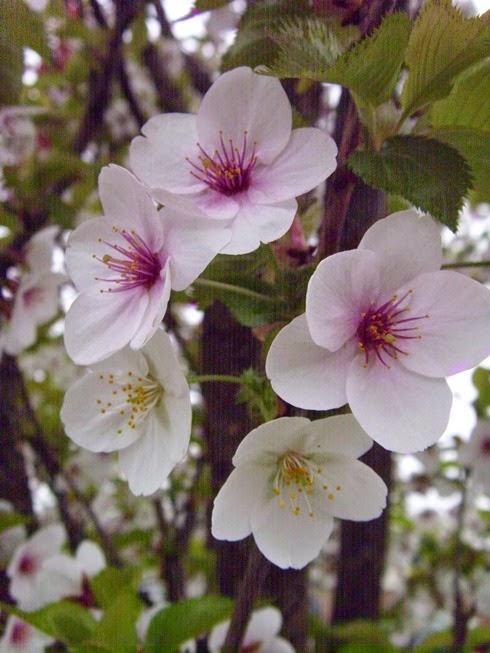 rose snowgoose schneiden