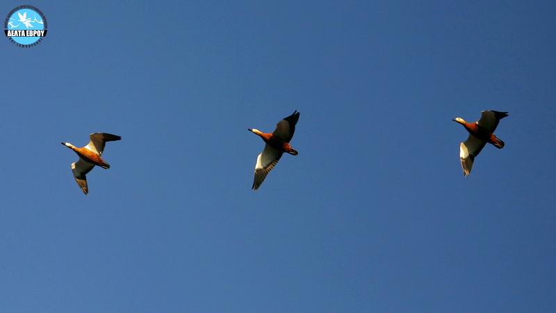 Αριθμός ρεκόρ από σπάνιες Καστανόπαπιες στο Δέλτα Έβρου
