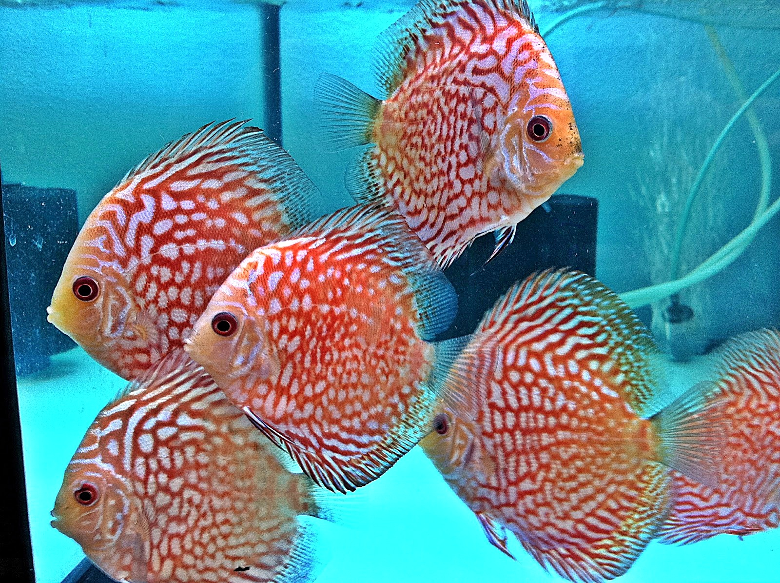 ikan tercantik