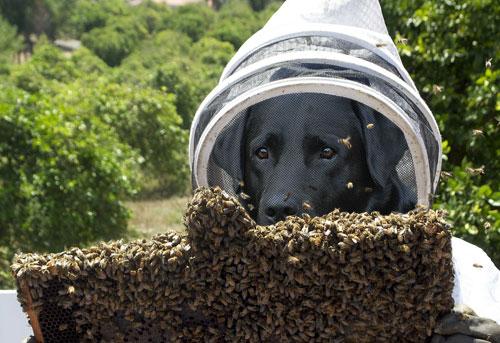 Σκύλος εκπαιδεύτηκε να εντοπίζει ασθένειες των μελισσών