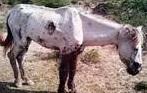 cara mengobati dan pencegahan penyakit cacingan pada kuda