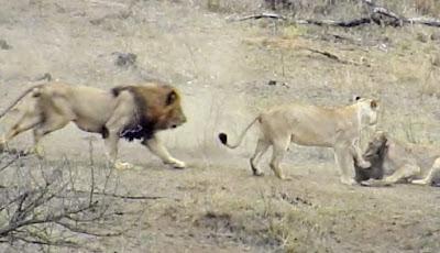 Singa vs babi hutan