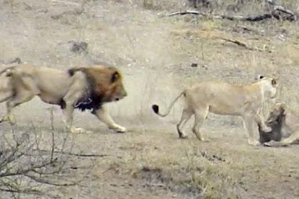 Dua Singa Betina Berburu Babi Hutan, Jantan Justru Menyelamatkannya
