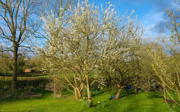 Damson tree in blossom