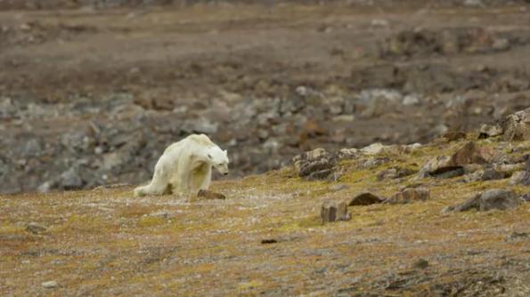 Oso polar muriendo de hambre se vuelve viral en Internet