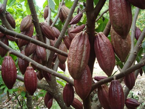 Cara Menanam Cokelat/Kakao Di Lahan Perkebunan