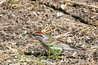 chipping sparrow(?)