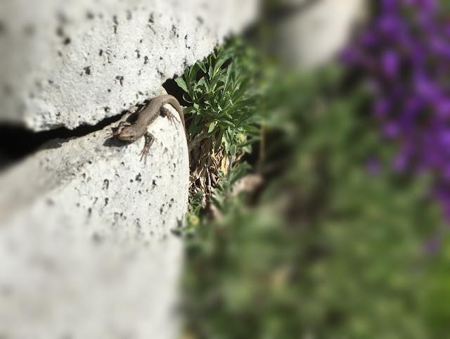 Eidechse auf der Steinmauer
