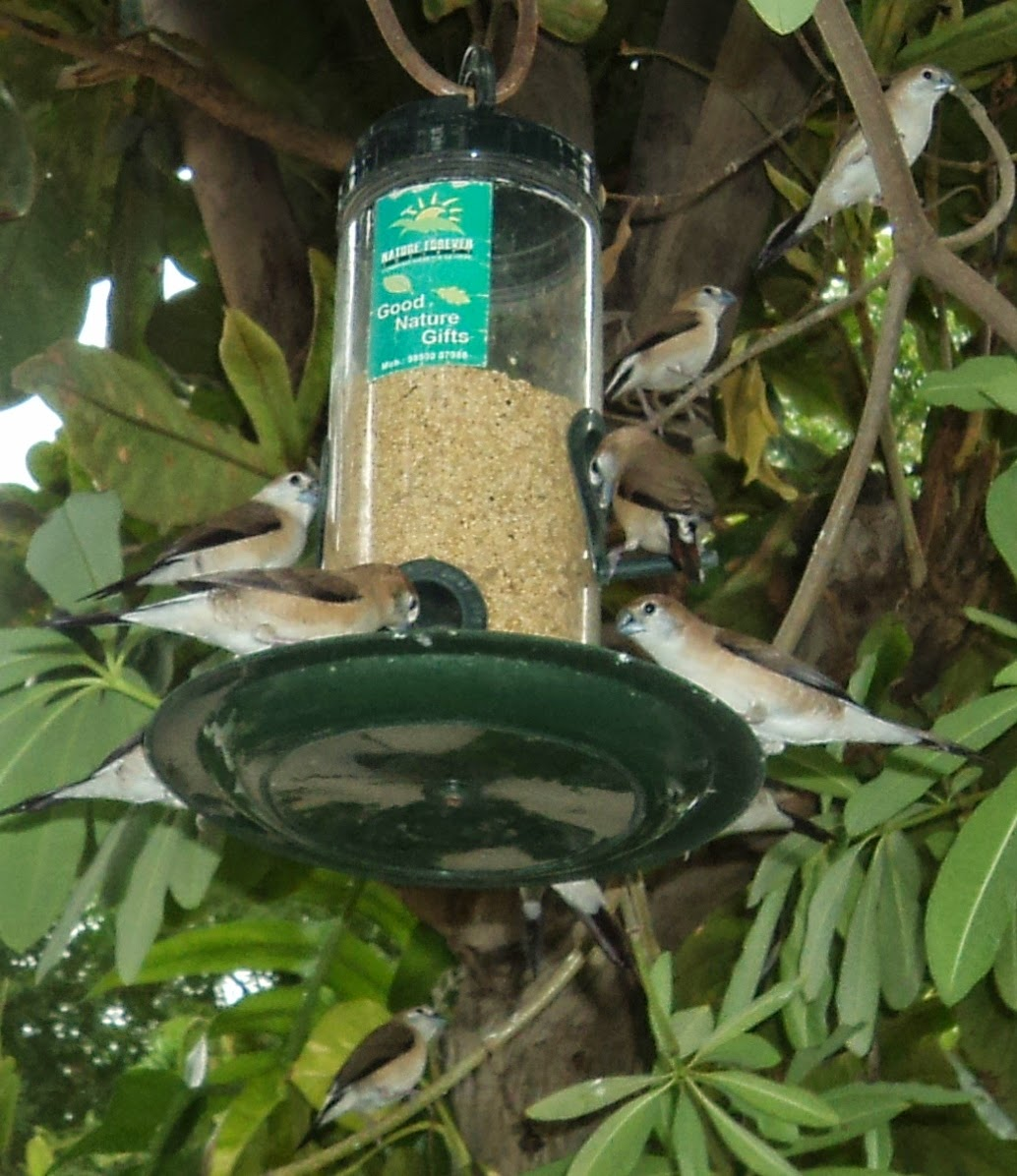 silve bill finch feeder ahmedabad