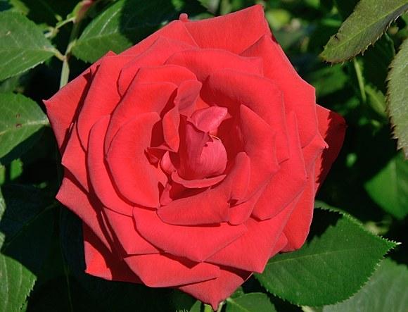 Rebell сорт розы Кордес фото