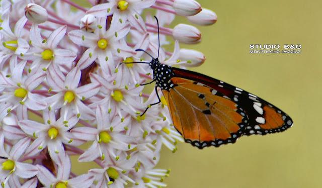 """""""Δαναός Χρύσιππος"""": Η πεταλούδα με...αργείτικη καταγωγή"""
