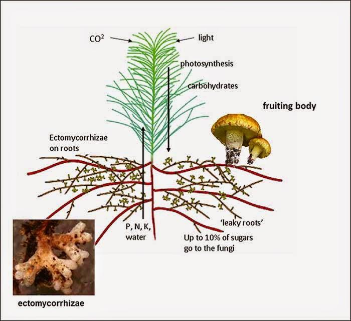 arbuscular mycorrhizal and ectomycorrhizal relationship