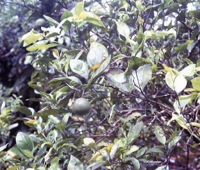 lime, Citrus