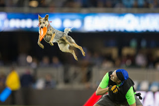 Disc Dog Vader at a 2016 San Jose Earthquakes Halftime Show