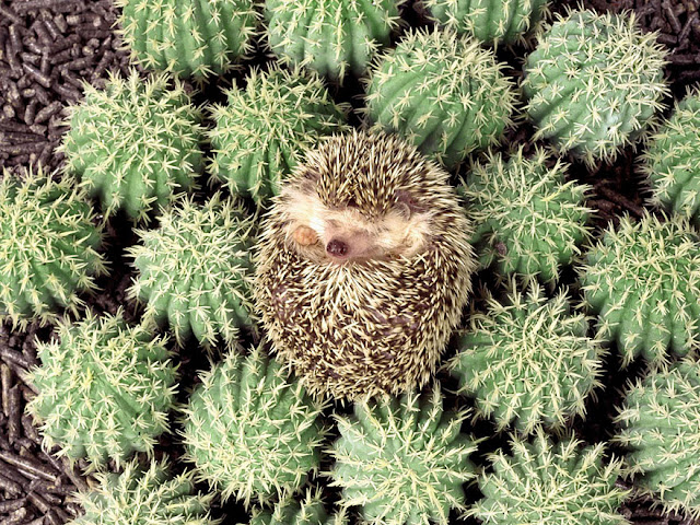 Hedgehog camuflagem