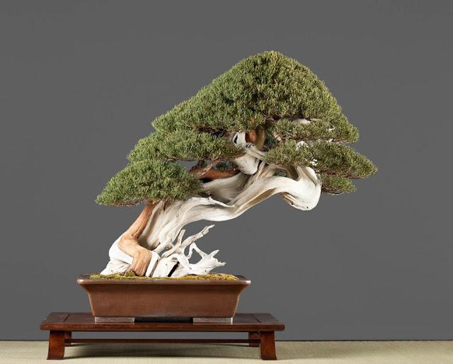 Tanuki Bonsai - The art of Tanuki Bonsai explained