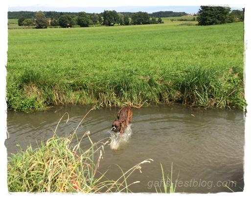 Boxer Amy springt ins Wasser