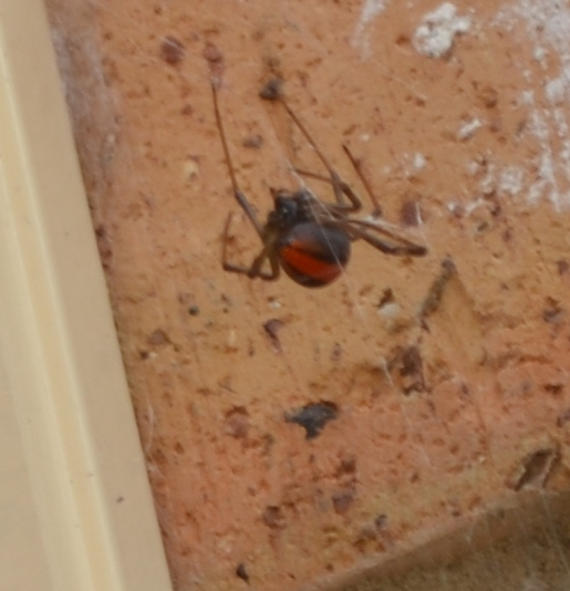 Super close-up blurry photo of redback spider showing the red strip on the back of its abdomen.