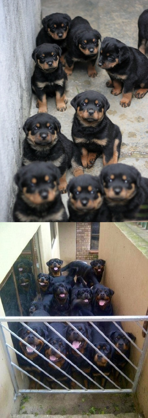 Funny Rottweiler Then And Now Cute Dogs Pictures