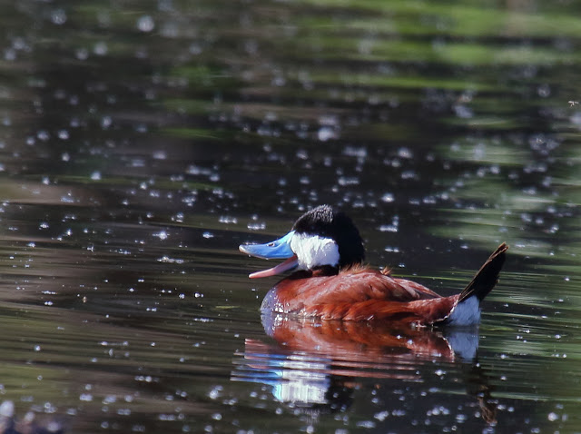 Laughing Duck or Ruddy Duck, depending upon your imagination