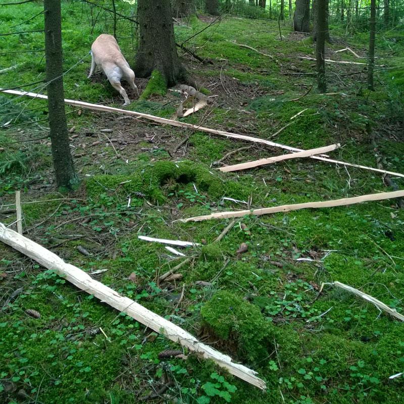 Puunsäpäleitä ympäriinsä metsässä.