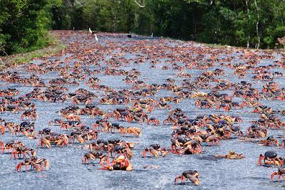 Caranguejos invadem a Baia dos Porcos!