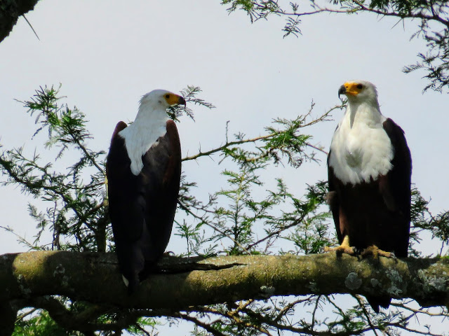 African Fish Eagle on Uganda's Kazinga Channel