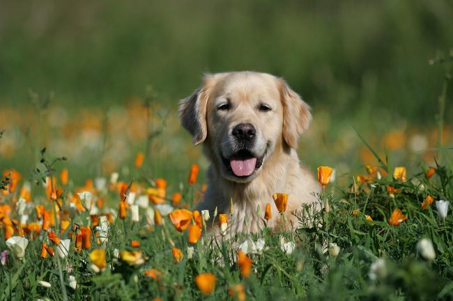 Psie widzenie barw