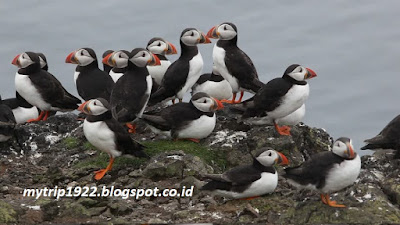 Puffin-National Nature Reserve (Skotlandia)