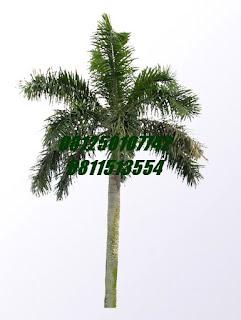 Palm Ekor Tupai | Jasa Tukang Taman Surabaya