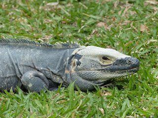 Iguane noir - Cténosaure noir - Ctenosaura similis