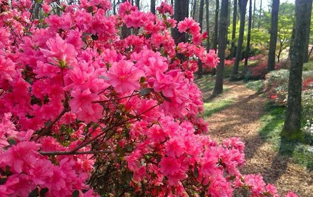 azaleia flores