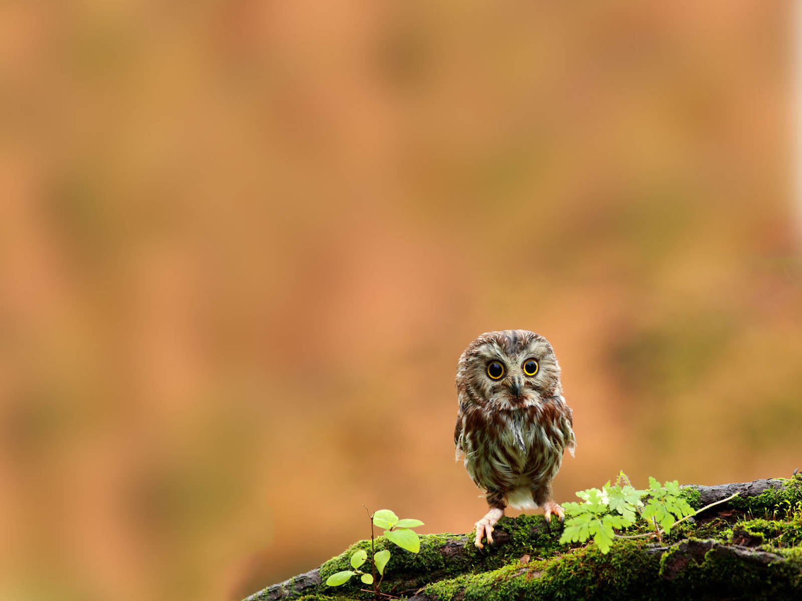 wallpapers: Funny Owl