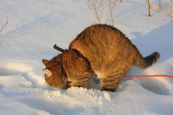 кошка копает снег