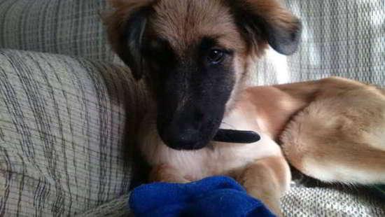 cachorro cruce pastor belga malinois