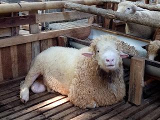 Peluang usaha bisnis ternak domba merino Impor