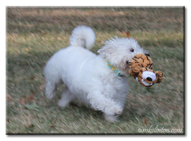 Pierre the Westie running with toy tiger