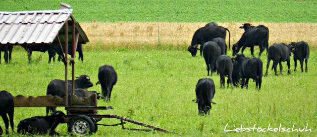 grasende Büffel