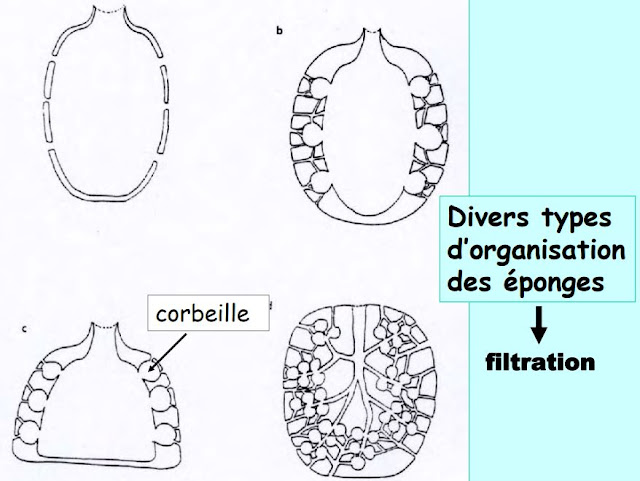 Divers types d'organisation des éponges è  filtration