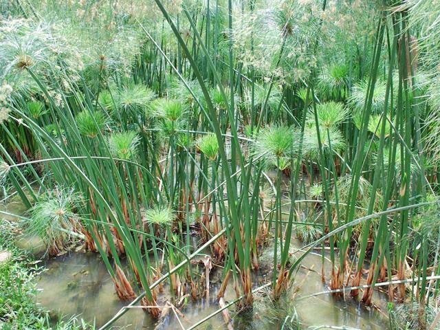 #Papiro, Planta Herbácea