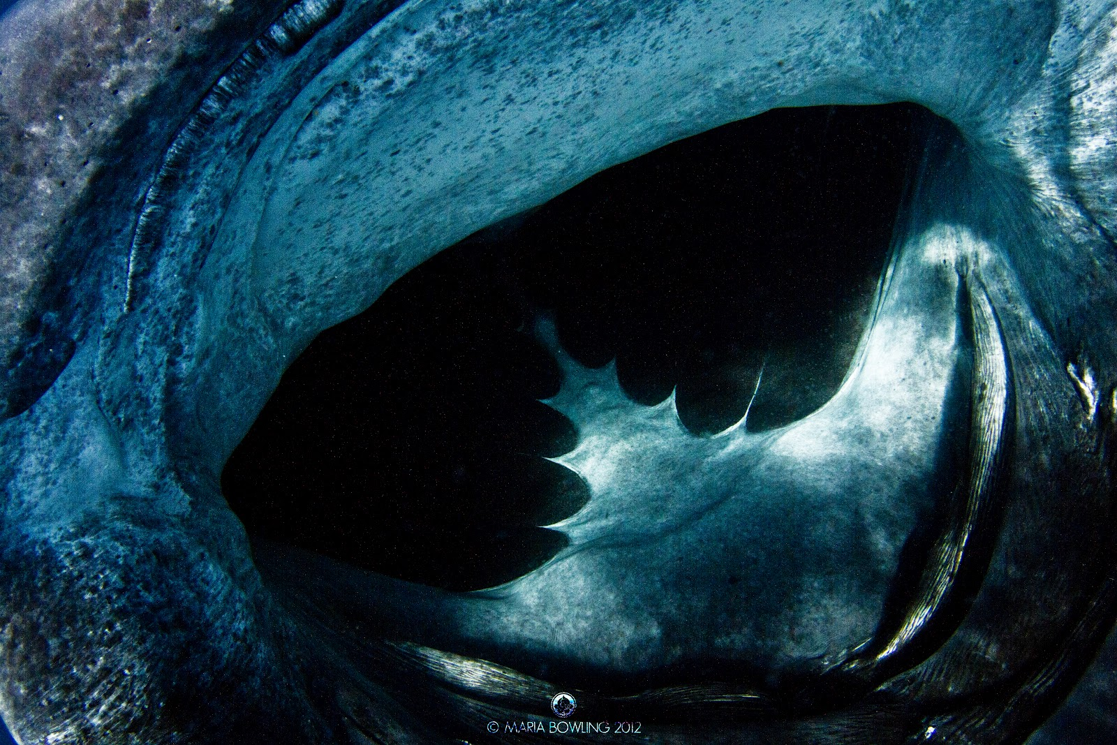 Aninimal Book: Pretty Medicine : The Elusive Whale Shark (Rhinocodon typus)